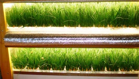 условия выращивания лука