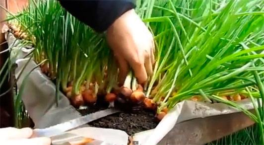 Выращивание лука на перо в домашних условиях