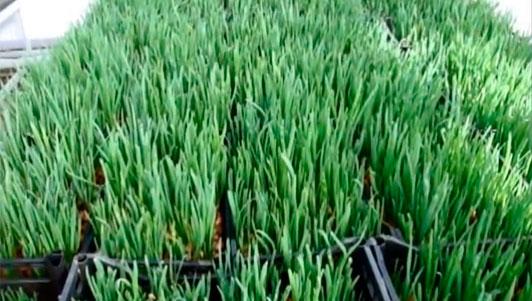 Выращивание зелёного лука