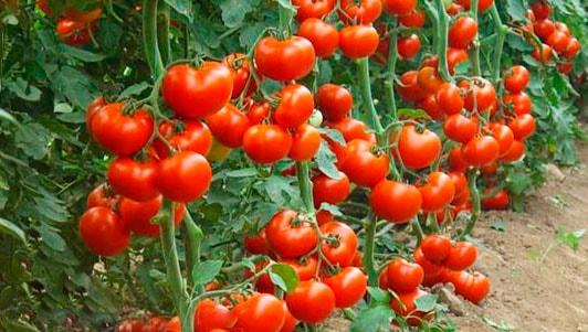 помидоры бизнес