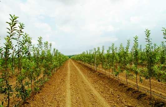 яблоневый интенсивный сад