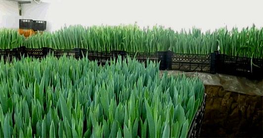 технология выгонки тюльпанов в ящиках