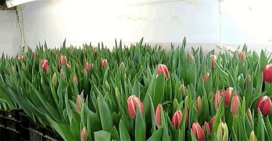 выгонка тюльпанов к 8 марта бизнес