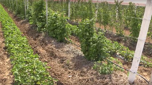 выращивание малины бизнес