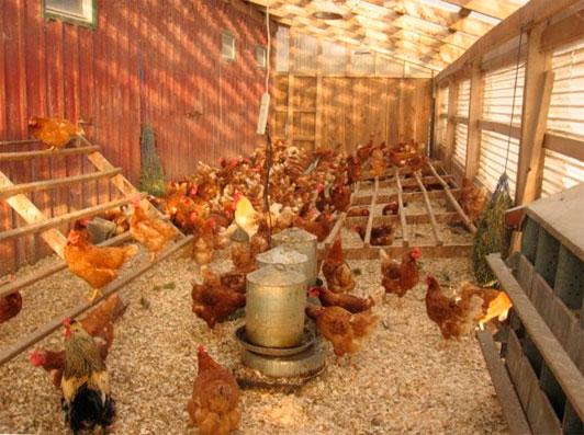 Бизнес на яйцах в домашних условиях