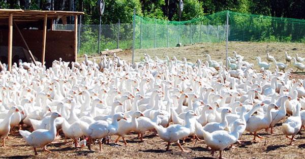 Домашни условие выращивать гуси