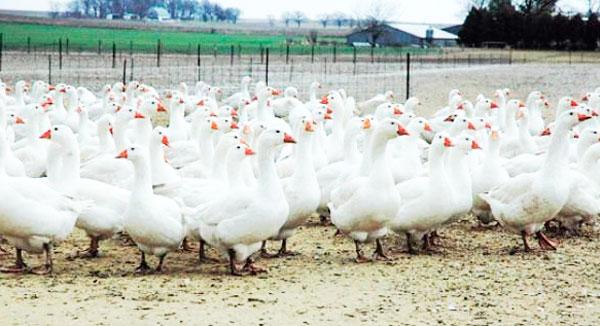 гусиная ферма бизнес